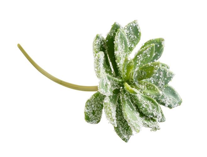 Succulenten-Pick beeist