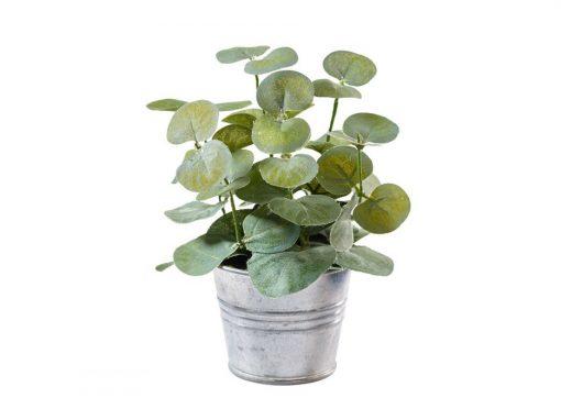 Eucalyptus im Topf